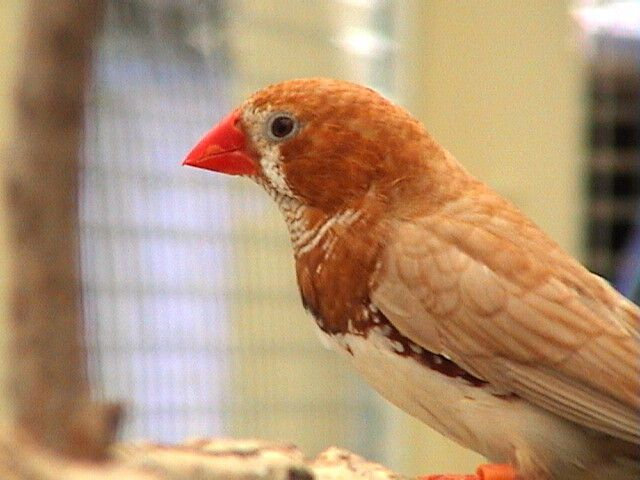 Red Fawn Zebra Finch - SELDIR!