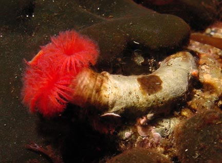 Hard Tube Feather Worm - Coloured L