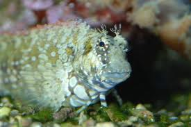 Algae Blenny M