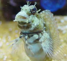Algae Blenny S