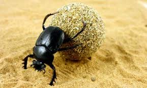 African Dung Beetle L