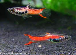 Scarlet Endler Guppy ML