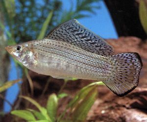 Silver Sailfin Molly L