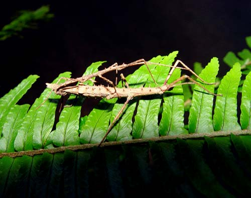 Stick Insect ML