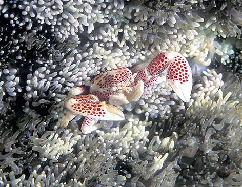 Anemone Crab - Spotted M