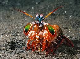 Mantis Shrimp L