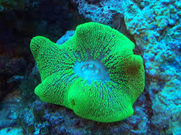 Carpet Anemone - Hard Green M