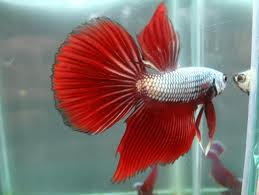 Super Dragon Fighting Fish L - male