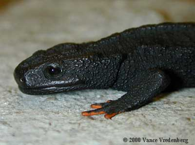 Black Knobbly Newt ML