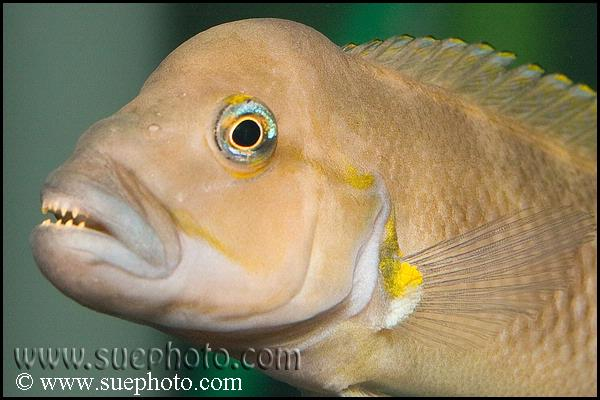Burgeon's Shelldweller Cichlid ML