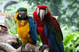 Green-winged/Blue & Gold Macaw Pair (Tobbi & Eva) - SELD!