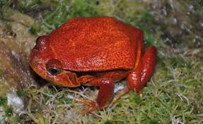 False Tomato Frog L - SELT!