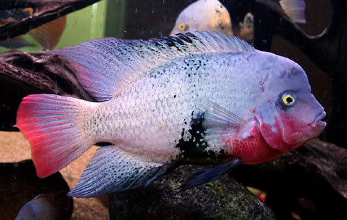 Black Belt Cichlid 10""