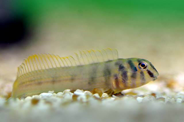 Zebra Blenny ML