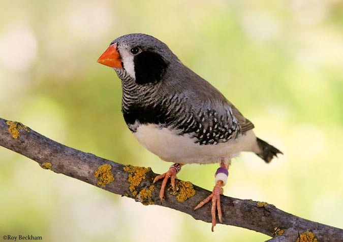 Black-cheeked Zebra Finch - SELDIR!