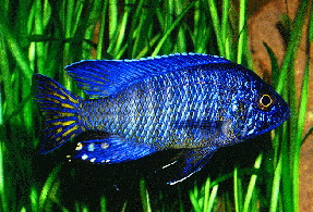Aulonocara sp. Blue L