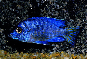 Aulonocara sp. Blue ML