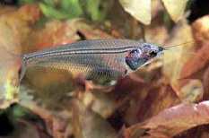 Indian Glass Catfish L