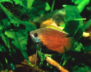 Honey Gourami ML