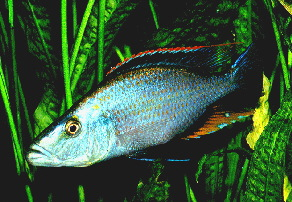 Dimidochromis compressiceps sp. Blue S