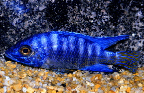Aulonocara sp. Blue XL