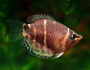 Chocolate Gourami M