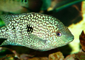 Green Texas Cichlid M