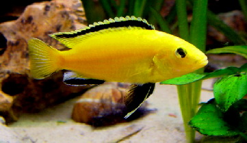 Caeruleus Mbuna - Yellow ML