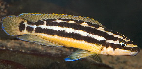 Julidochromis ornatus M