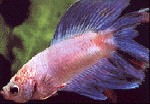 Lyretail Fighting Fish L - male