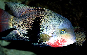 Black Belt Cichlid S