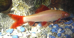 Albino Red-finned Shark M
