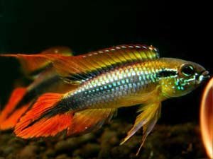 "Agassizi ""Double Red"" Dwarf Cichlid L"