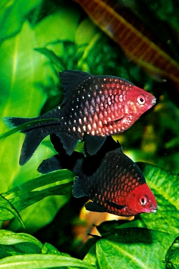 Black Ruby Barb M