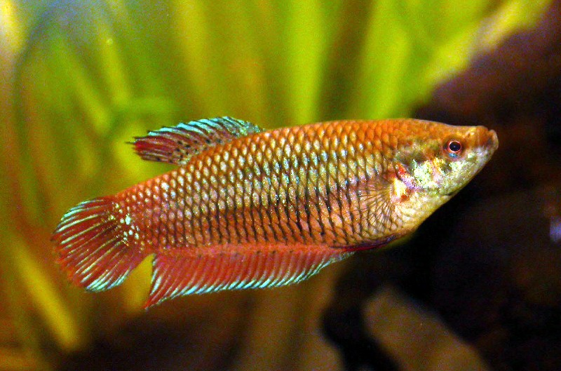 Siamese Fighting Fish ML - female