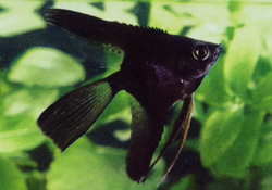 Angelfish - Black ML - SELT!