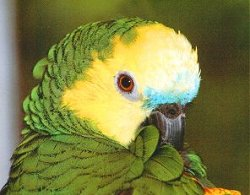 Blue-fronted Amazon (Seti) - SELDUR!