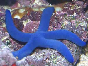Blue Finger Starfish L