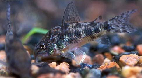 Peppered Corydoras ML