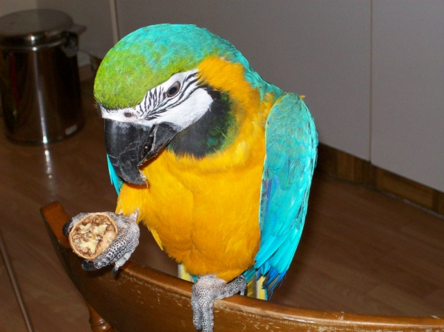 Blue & Gold Macaw (Echo) - SELD!