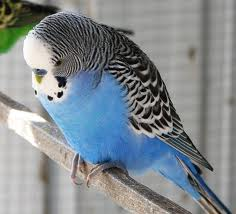 Complete - Budgerigar w/Cage