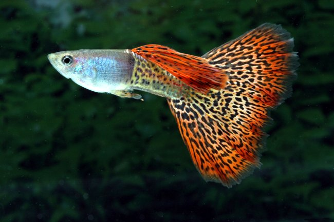 King Cobra Fantail Guppy ML