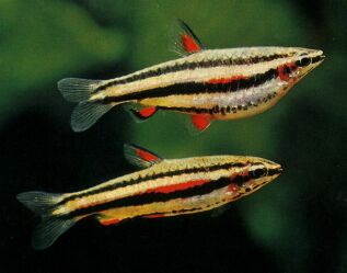 Dwarf Pencilfish ML