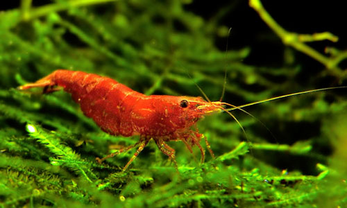 Red Cherry Shrimp M