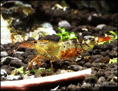 Orange Bumble Bee Shrimp M