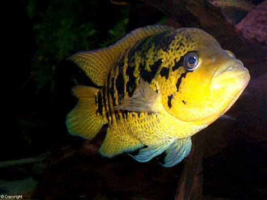 Yellowjacket Cichlid ML