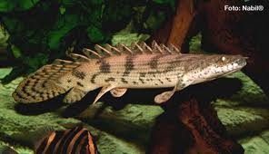 Saddled Bichir M