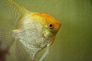 Angelfish - Gold Diamond M