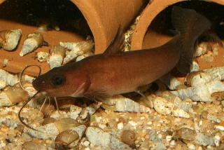 Feather Whisker Catfish M