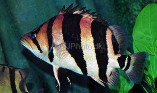 Siamese Tiger Fish S